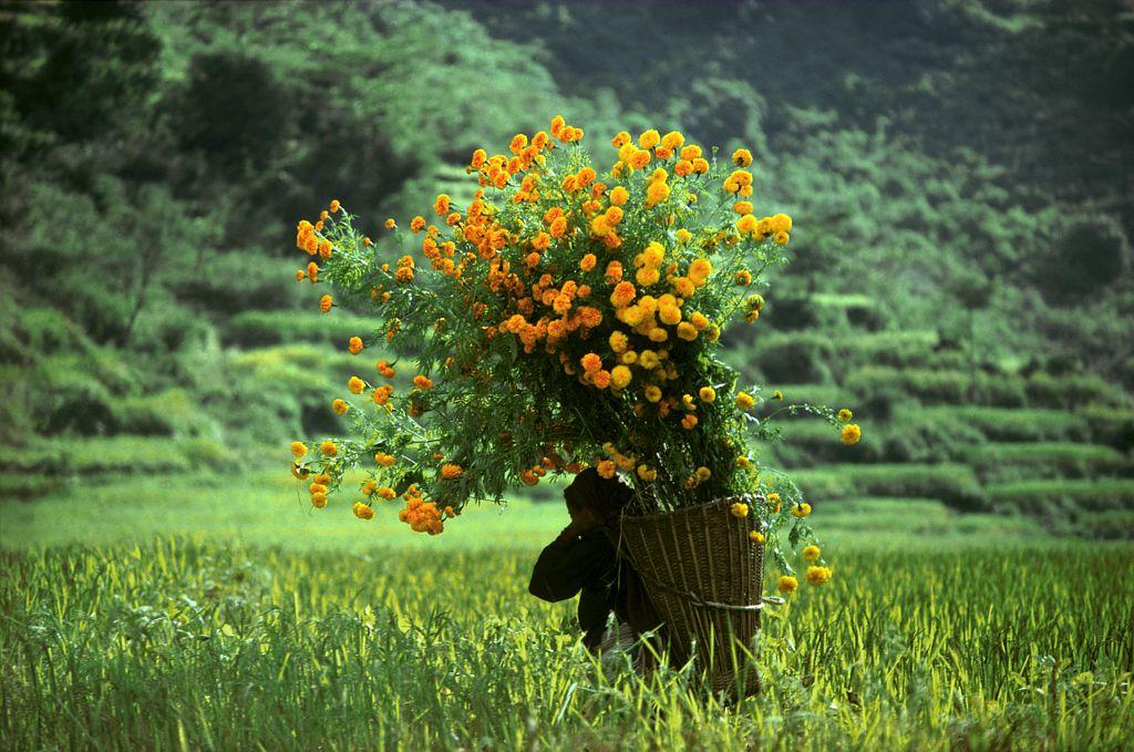 Sur le chemin du marché, Népal - Une villagoise du Nepal transporte a travers champ un bouquet d'oeillets d'Inde qu'elle va vendre au marché