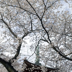 Cherry trees in bloom at the Kaneiji temple in the park of Ueno-koen