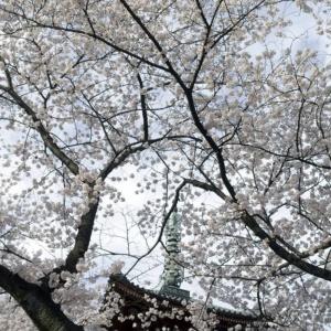 Cerisiers en fleur au temple de Kaneiji dans le parc de Ueno-koen