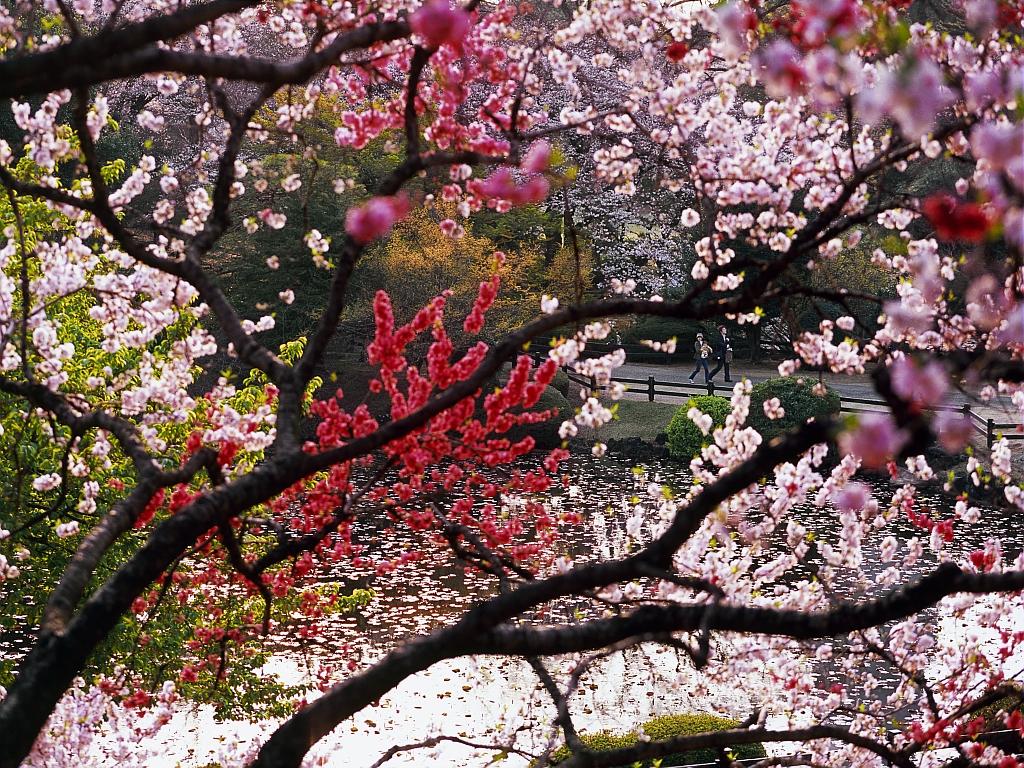 Les cerisiers en fleurs sont l'occasion d'une célébration nationale au Japon.