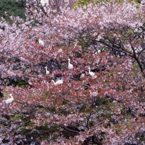 Cranes grouping on the cherry trees in blossom at Tsurugaoka Hachimangu pond, Kamakura, Japan.