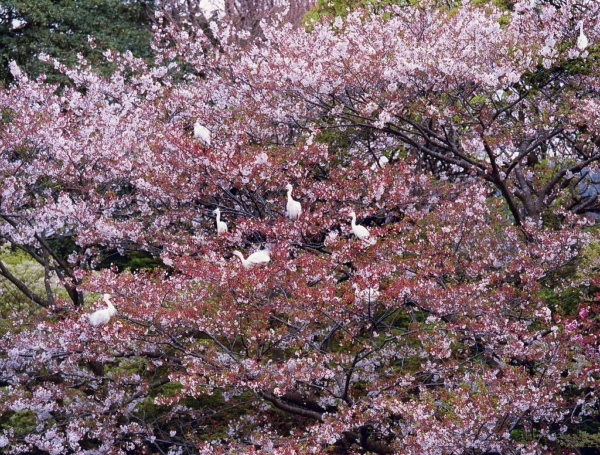 Rassemblement de grues dans les cerisiers en fleurs a l'etang de Tsurugaoka Hachimangu, Kamakura, Japon.     /     Cranes grouping on the cherry trees in blossom at Tsurugaoka Hachimangu pond, Kamakura, Japan.