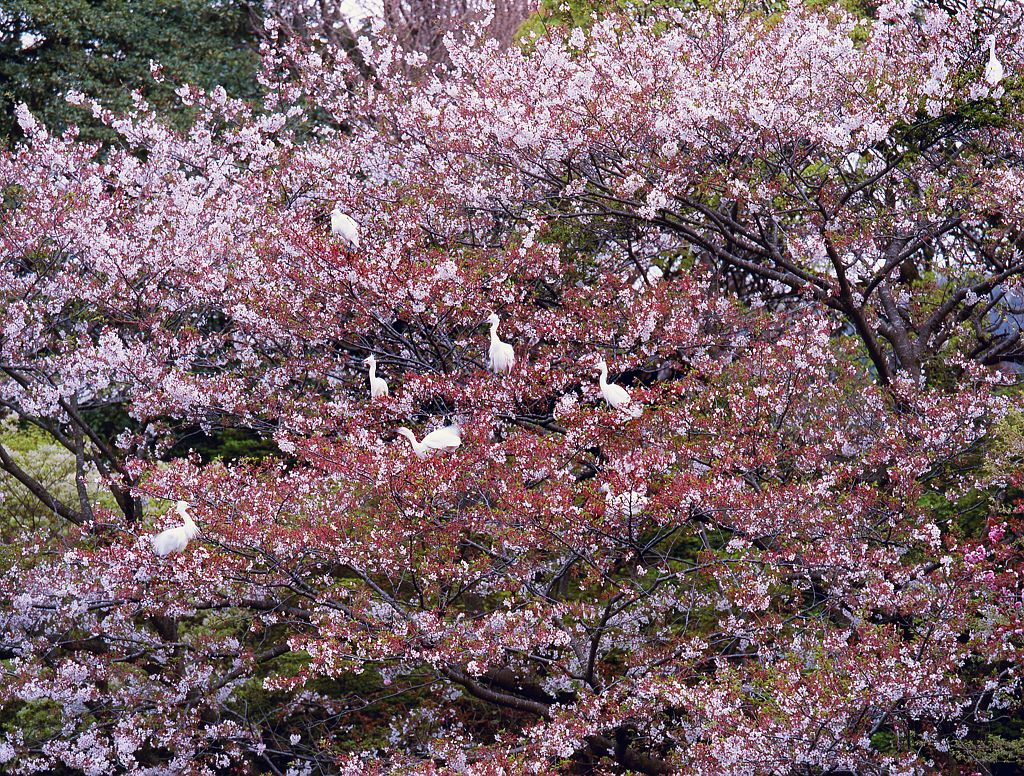 Rassemblement de grues dans les cerisiers en fleurs a l'etang de Tsurugaoka Hachimangu, Kamakura, Japon. / Cranes grouping on the cherry trees in blossom at Tsurugaoka Hachimangu pond, Kamakura, Japan.